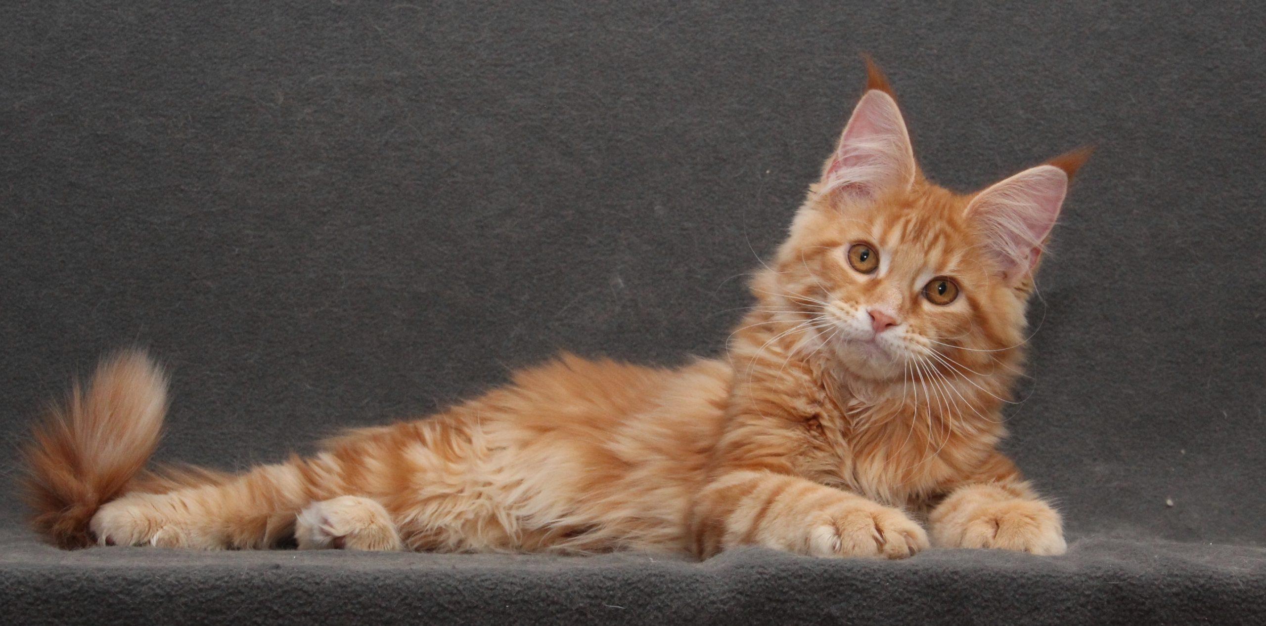 рыжий котенок мейн-кун