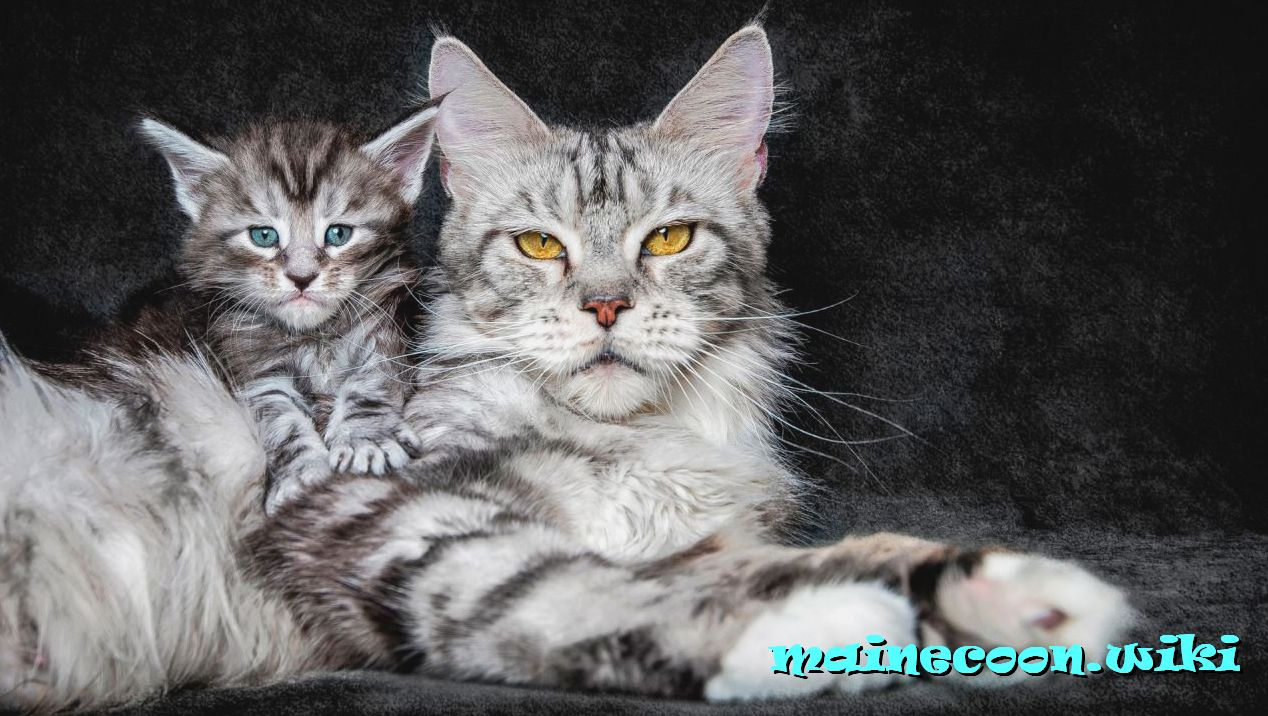 мейн-кун с котенком
