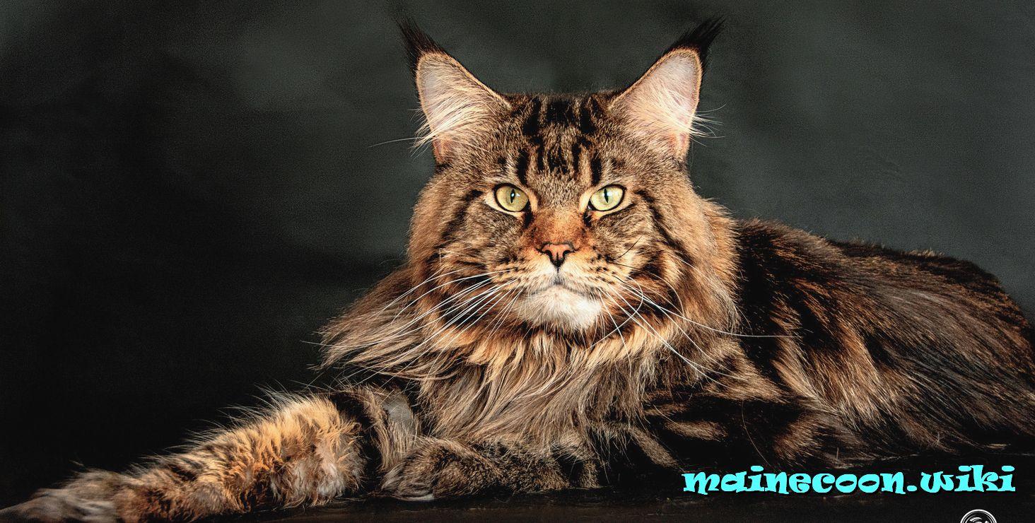 Имена для котят Мейн-Кун