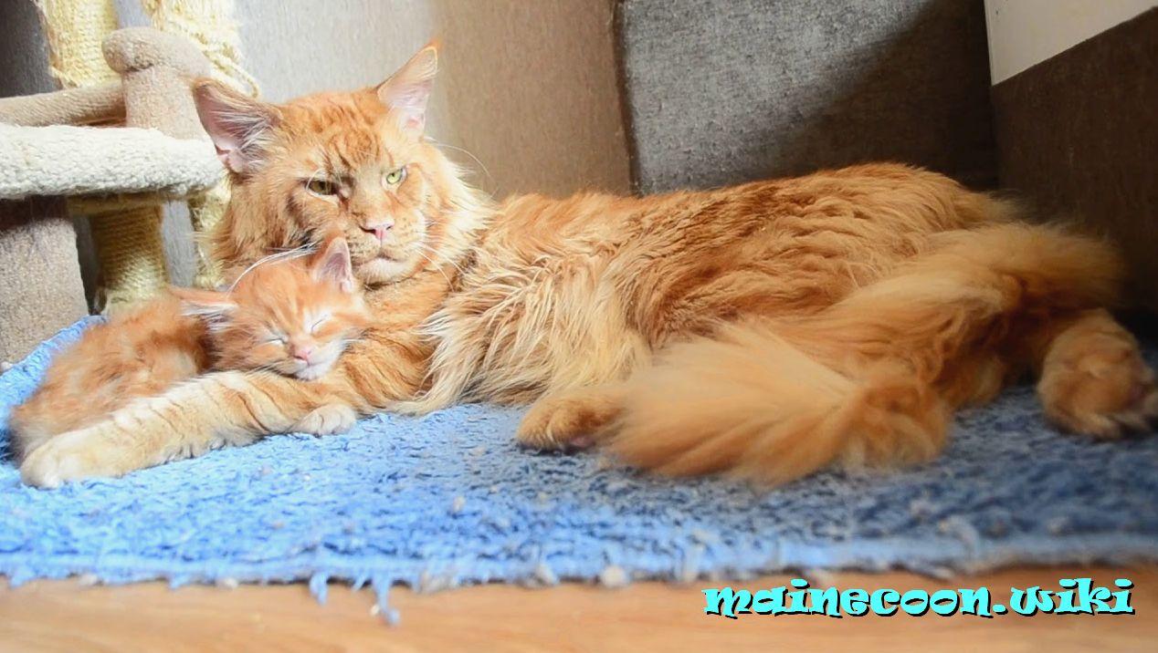 стерилизация кошки мейн-куна