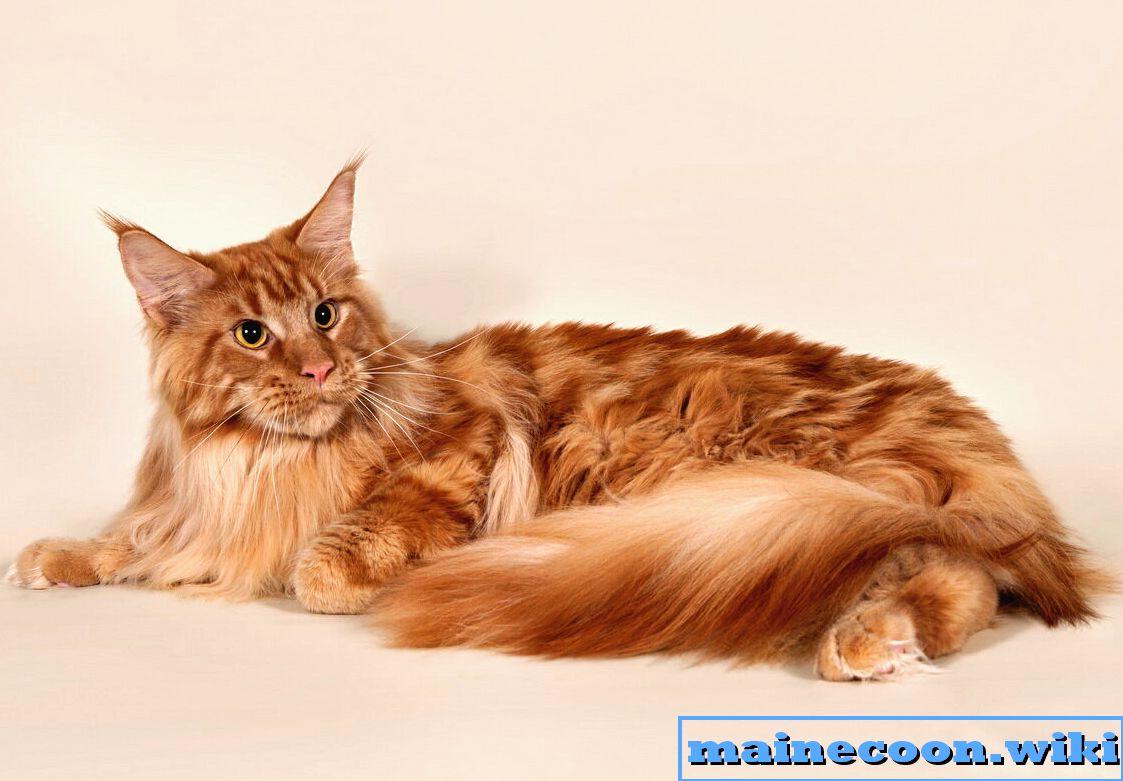 Плюсы и минусы кота мейн-куна