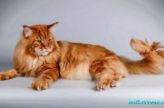 Вязка котов и кошек Мейн-Кун