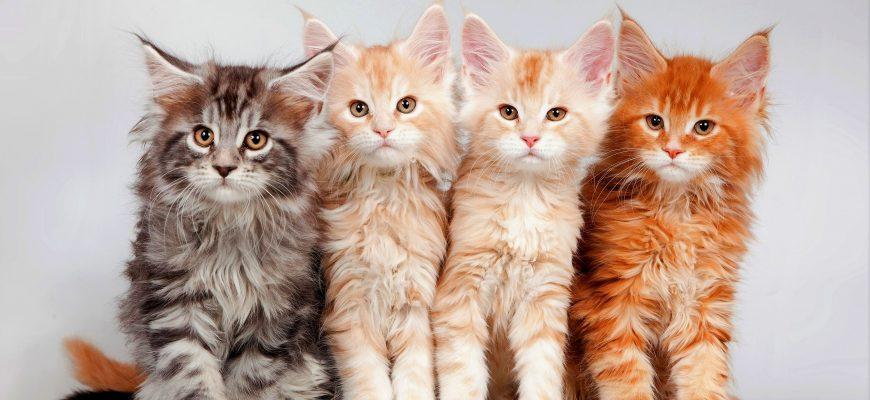 Какие витамины нужны котятам Мейн-куна