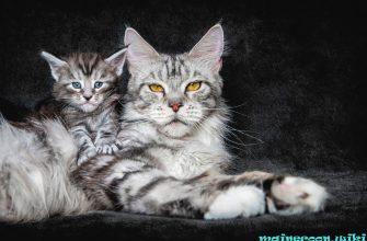 Первая течка у кошки Мейн-кун