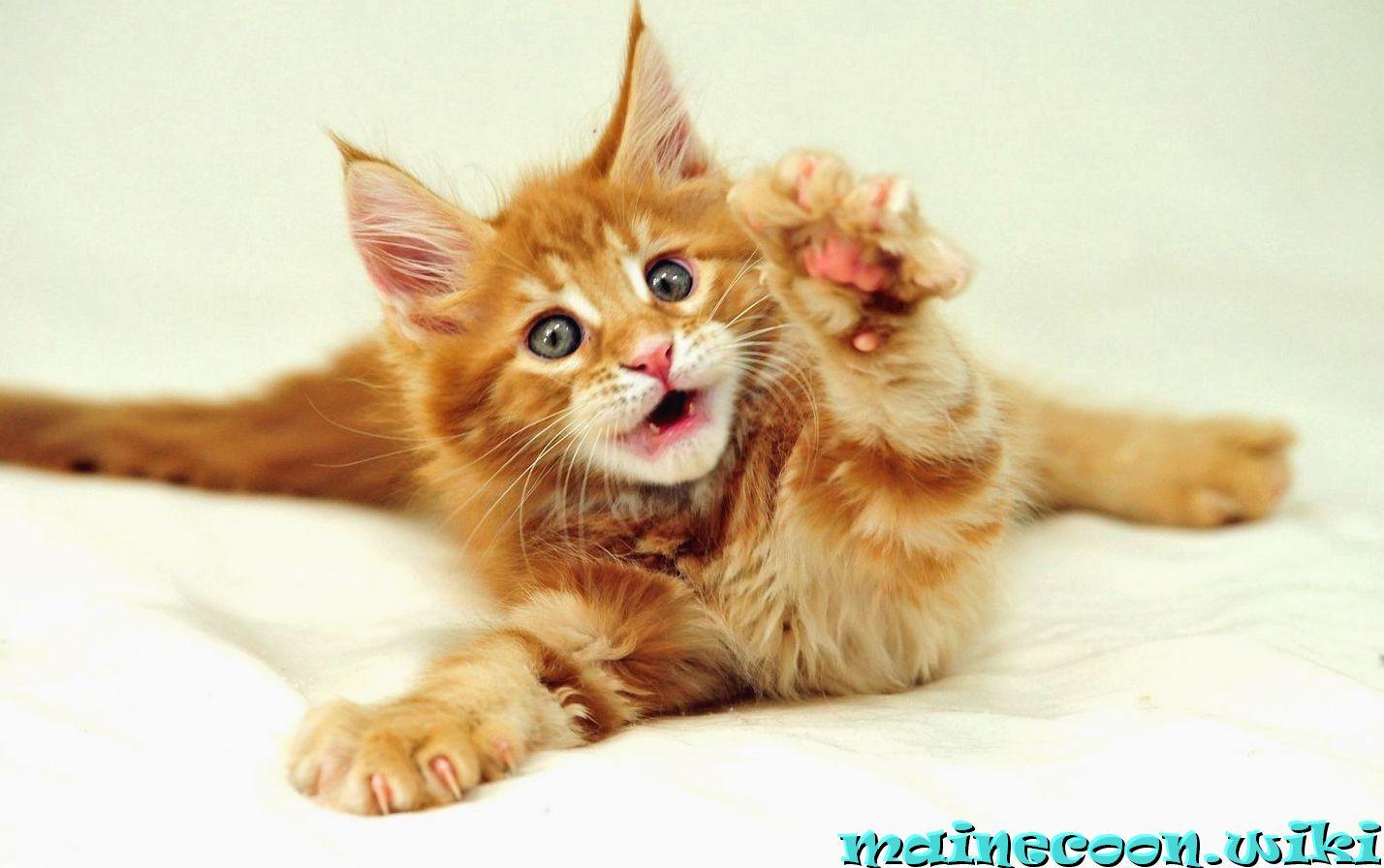 Смена зубов у котят мейн-кун