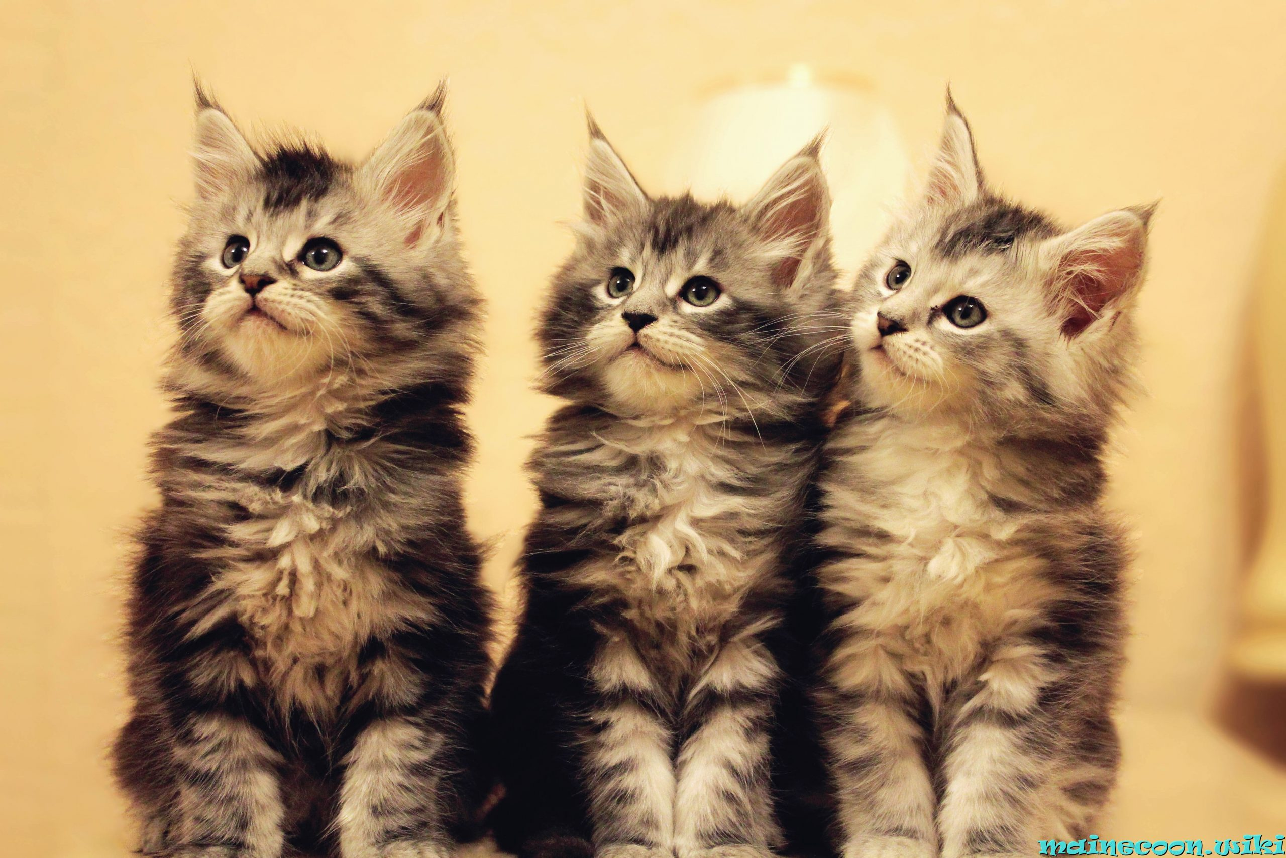 три котенка мейн-куна воспитание