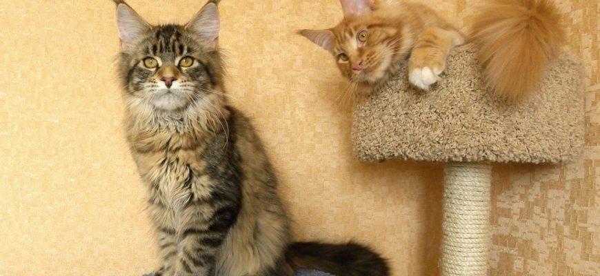 Воспитание котят мейн-куна в домашних условиях